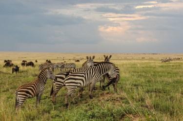 Zebras in der Abendsonne
