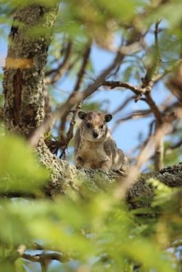 Klippschliefer im Baum