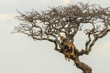 Löwinnen im Baum