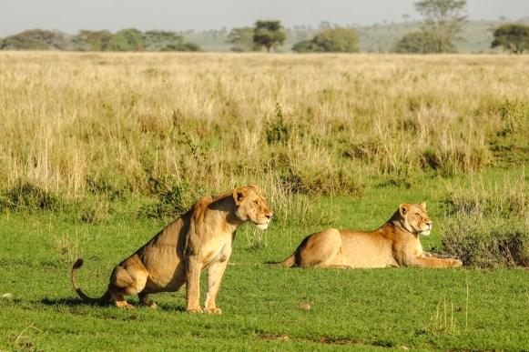 Angespannte Löwinnen beobachten eine Gnuherde