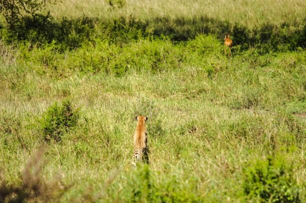 Ein Leopard auf Jagd nach einer Thomson Gazelle