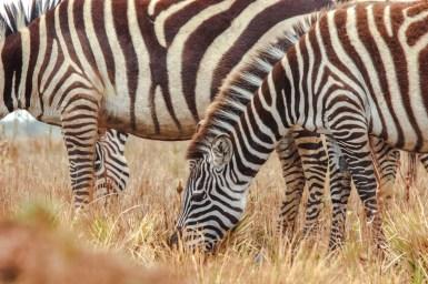 Zebras am oberen Kraterrand