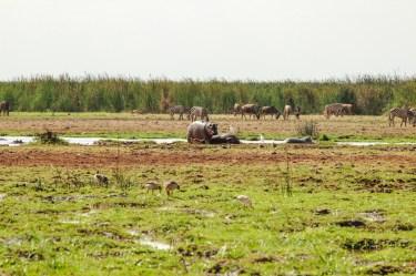 Nilpferde am Lake Manyara