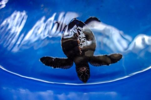 Babyschildkröte