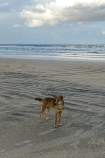 Dingo am Strand