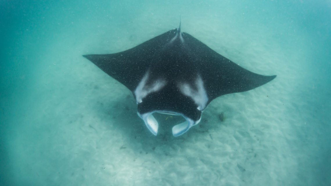 Manta / Bild von Daniel Daniel Thomas Brown