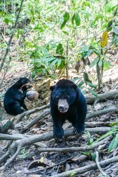 Mit ihren scharfen Zähnen und Krallen können die Bären Kokosnüsse öffnen