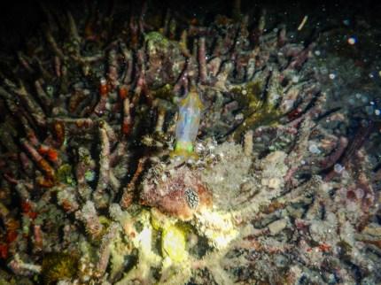 Leuchtender Tintenfisch