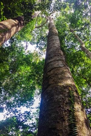 Ein Marsch durch den schwülen Dschungel um Termitenhügel zu suchen