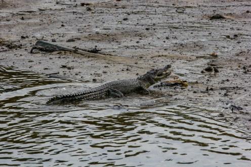 Junges Krokodil