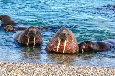 Neugierige Walrösser am Strand