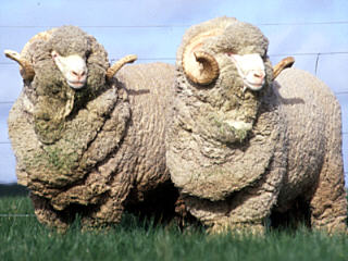 Image result for blue wool breeders