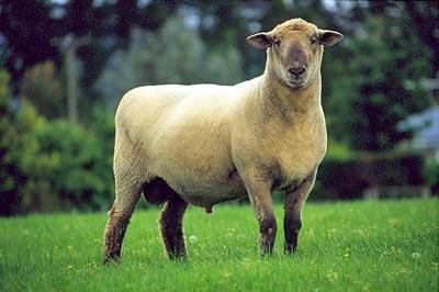 Sheep 101 Sheep Breeds DF