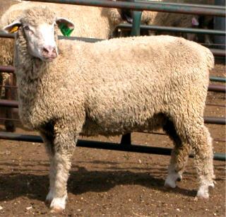 Columbia ewe