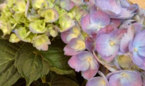 Hydrangea, blooming in the garden.