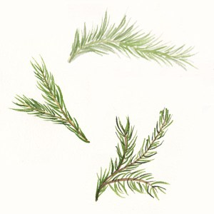 Rosemary sprigs in watercolor.