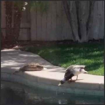 Ducks in the pool, 3.25.16, sheiladelgado.com