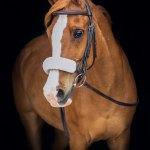 Jubal Equine Black Background Portraits Sheila Scott Photography