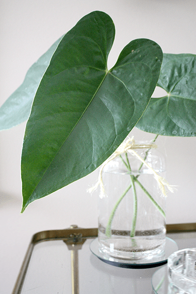 Large Anthurium Leaves Clear Vase