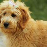 These Trendy Designer Dog Breeds Will Set You Back Thousands Of Dollars Sheknows