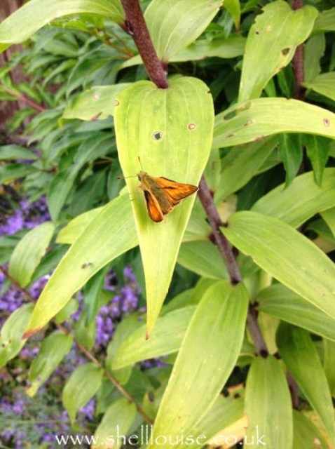 an orange winged moth