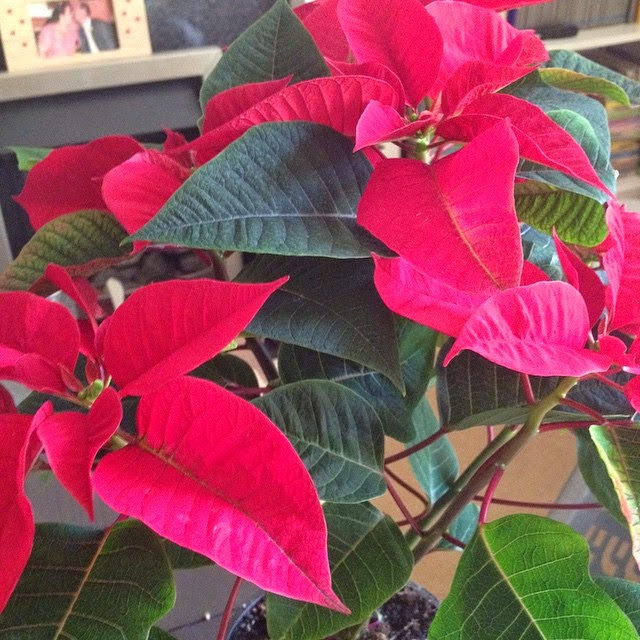 Dear Diary - Poinsettia