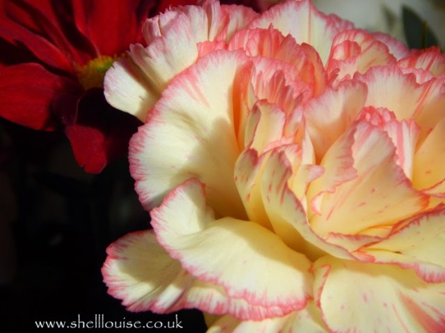 close up of a cream and pink flower