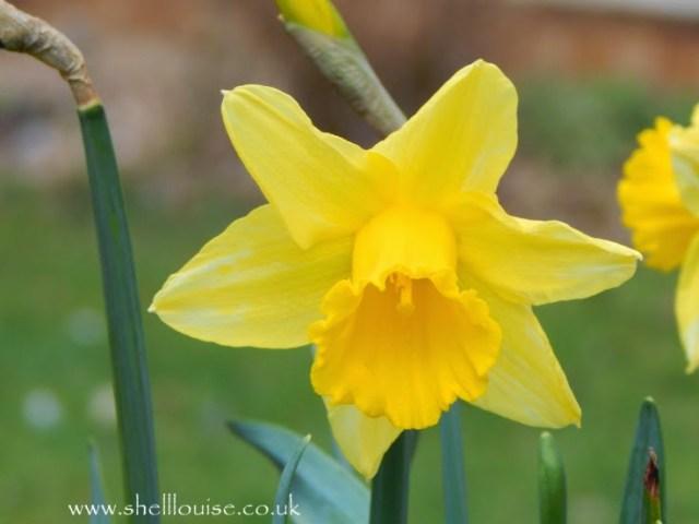 budding photographers - yellow daffodil