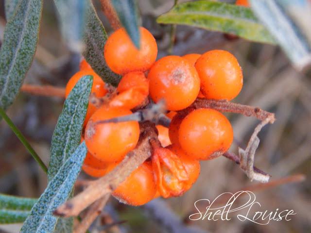 Donna Nook Nature Reserve - Close up of orange berries