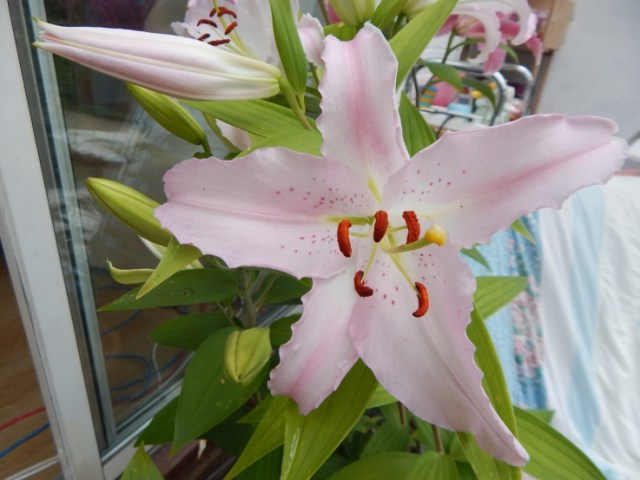 light pink lily flowers summer flowers