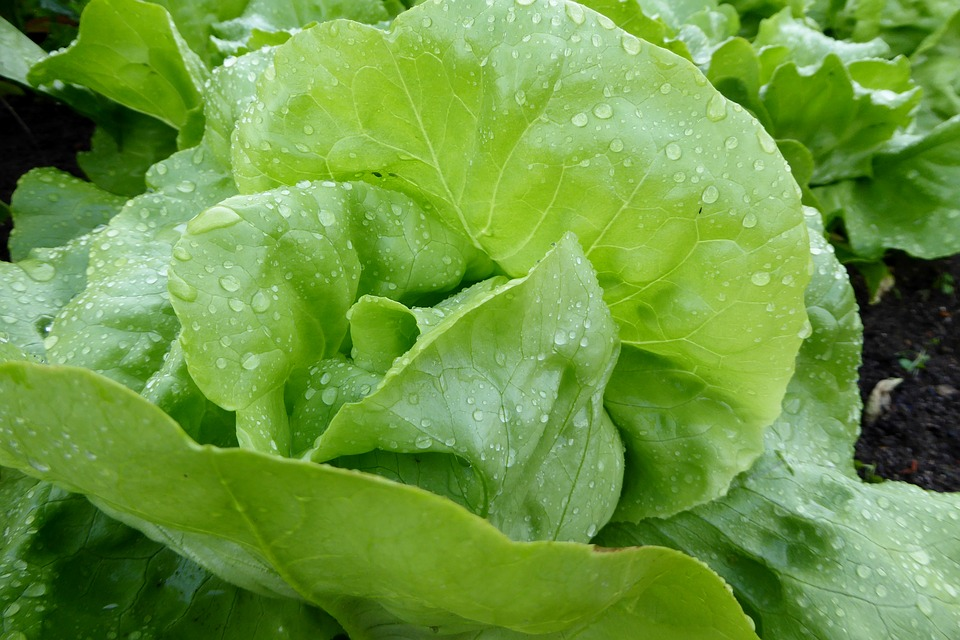 lettuce - how to grow vegetables