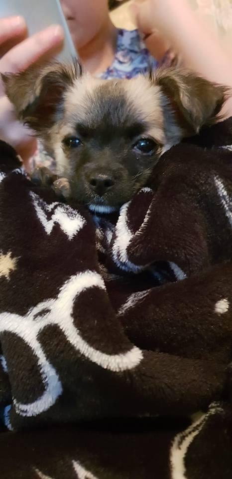 Dobby the chihuahua