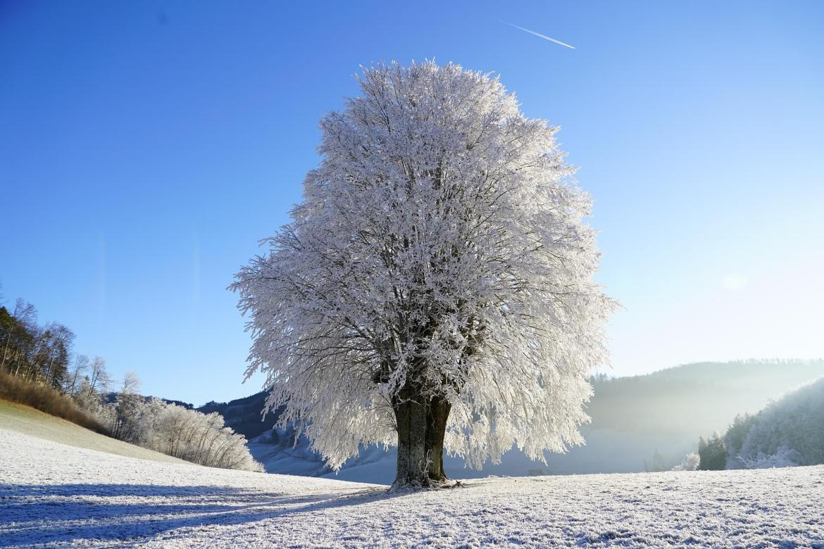 A tree covered in frost in the Winter