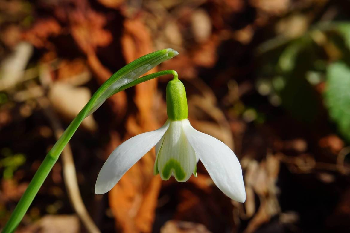 Snowdrop in a WInter garden