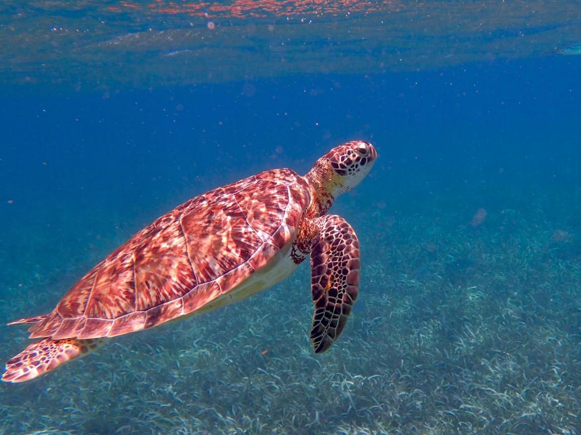 turtle in the sea
