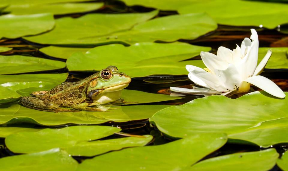 frog on a lily pad - eco garden