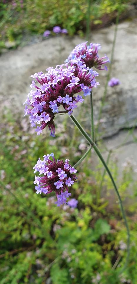 lilac coloured flower
