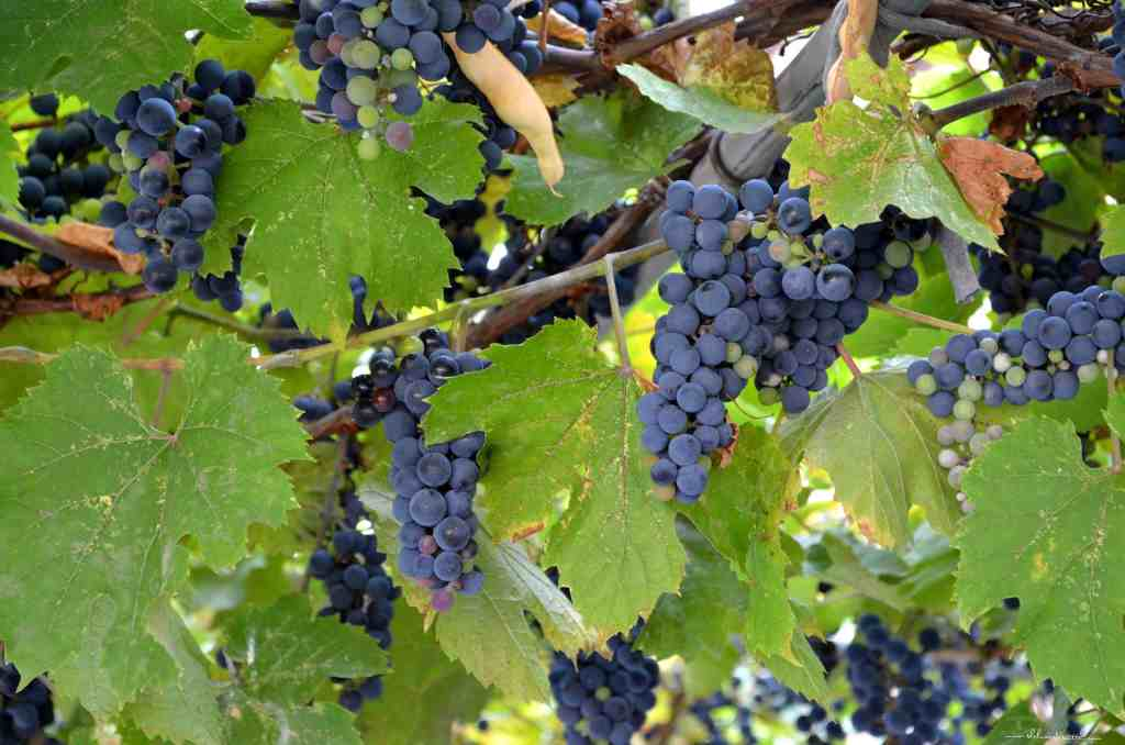 A few bunches of concord grapes hanging from the vines in a garden.