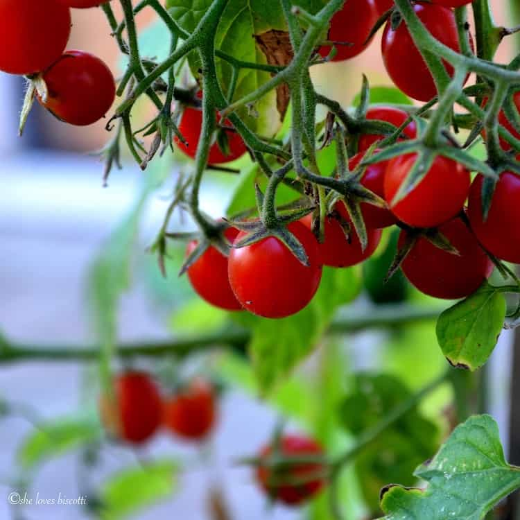 Cherry Tomatoes growing on a plant.