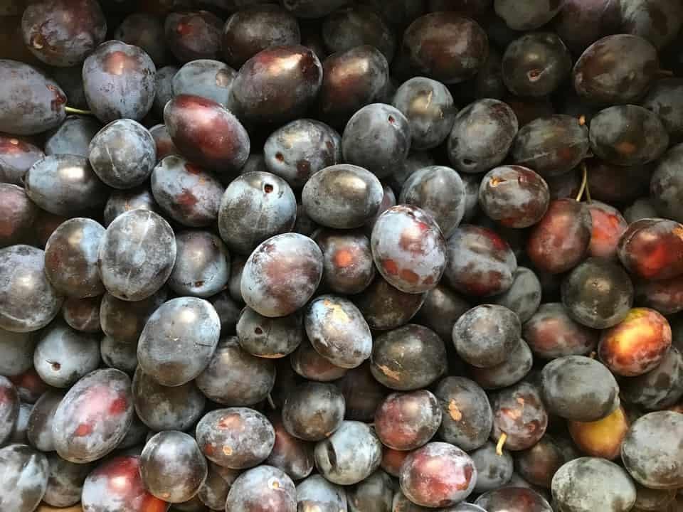 An overhead shot of hundreds of Italian prune plums.