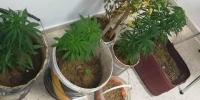 راس الجبل: حجز ماريخوانا مزروعة داخل منزل (صور)
