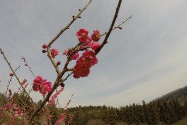 Cherry Blossoms, South Korea