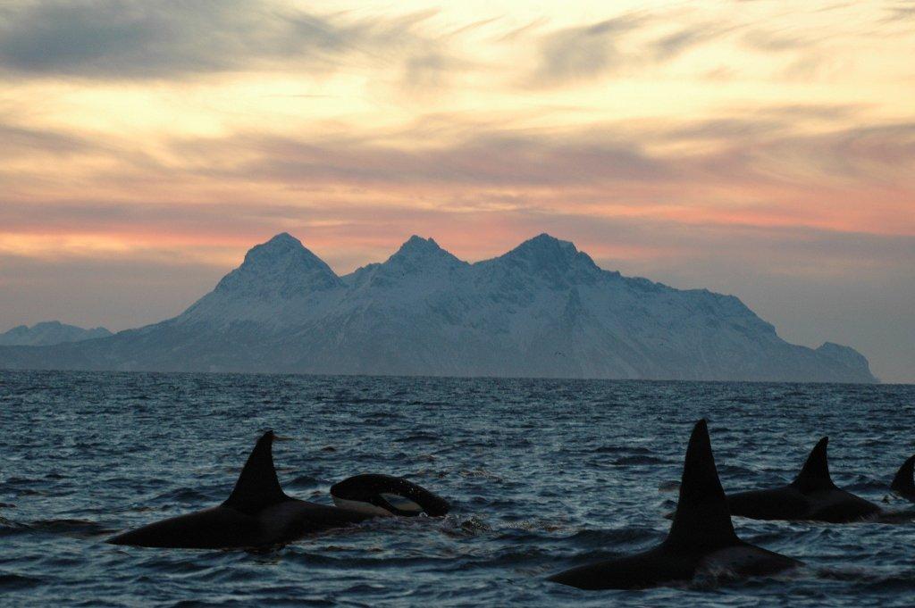 bucket list item swim with orcas