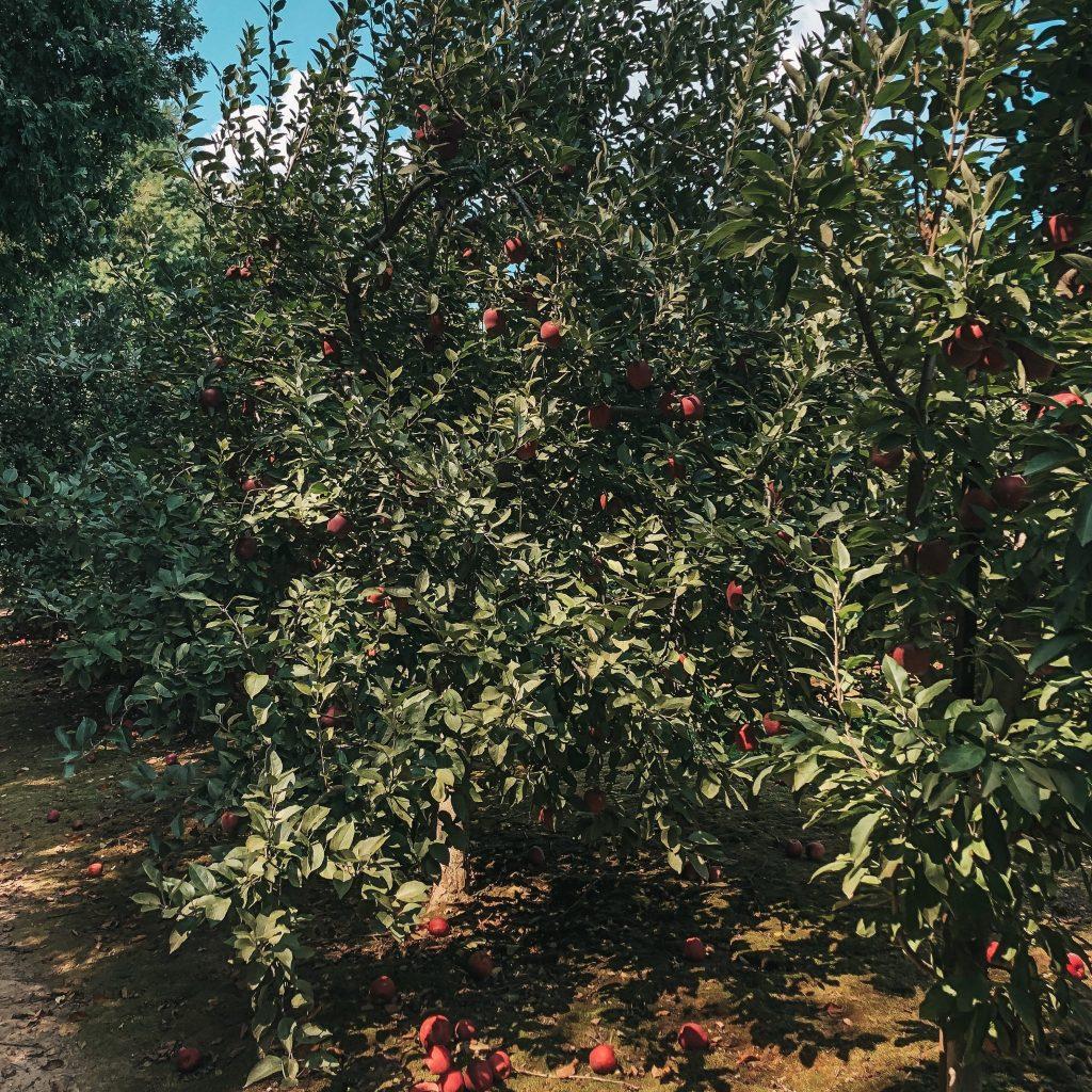 apple picking grandads apples asheville