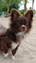 chihuahuas - info and games