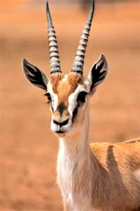 Gazelle  info and games