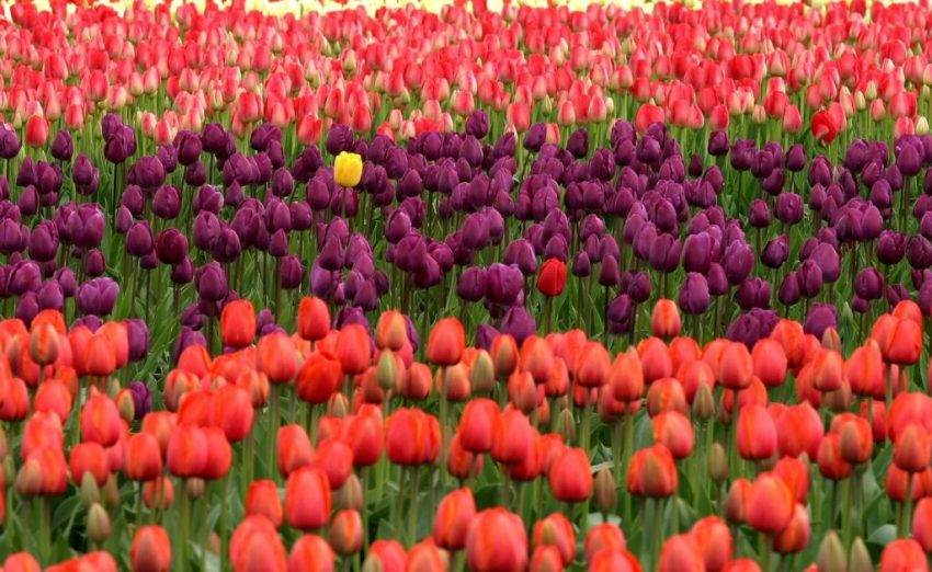 Legal tips for bloggers | Finding inner voice and standing out in a crowd are as important as this yellow tulip in a field of red and purple tulips.