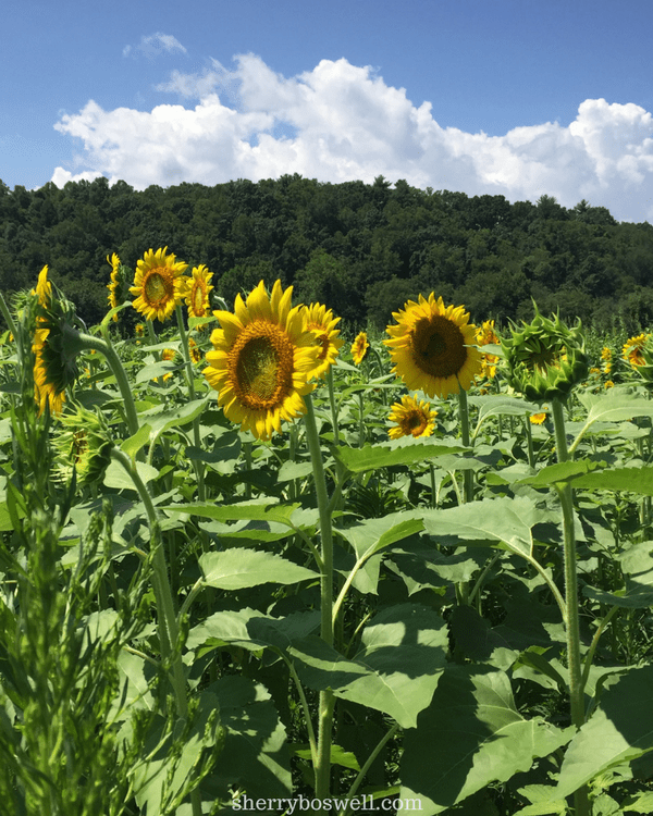 10 things to do in Asheville | the gardens are beautiful, but these sunflowers near Antler Creek Village are spontaneous sunshine