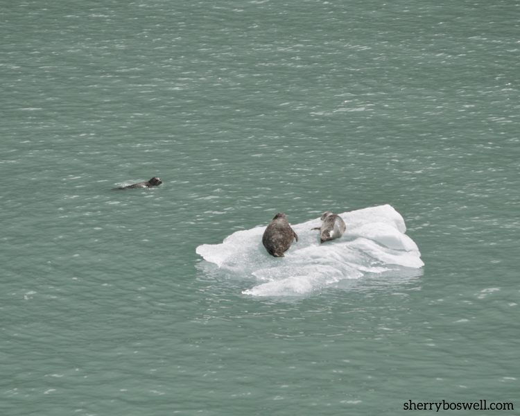 8 Do's and 1 Don't on Alaska cruise | I spy with my little eye seals on the Alaska ice. Better to see with binoculars and great cameras.