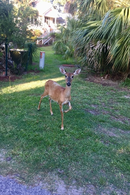 Even the deer would agree: you need more than 24 hours in blissful Beaufort, SC to come see them out at Fripp Island.
